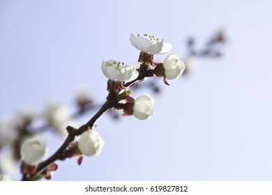 spring flowers. Blooming apricot.spring beauty.Apricot blooms