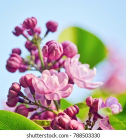 Spring flowers - blooming lilac flowers, spring background
