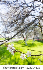 Spring flowers blooming white cherry on a blurred green background grass and garden. Sunny day.