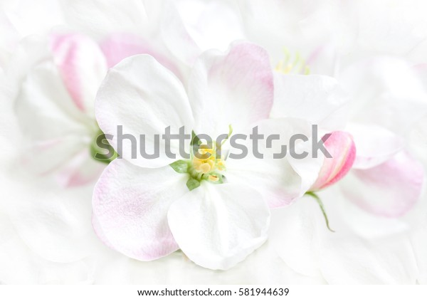 Spring flowers in blossom. Floral wallpaper, bunch of apple tree bloom