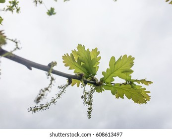 Spring flowers bunch and leaves of an oak branch on white background