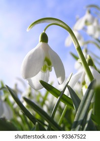 Spring Flowers called snowdrops.