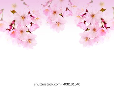 Spring flowers. Cherry blossom on white background, with copy space.