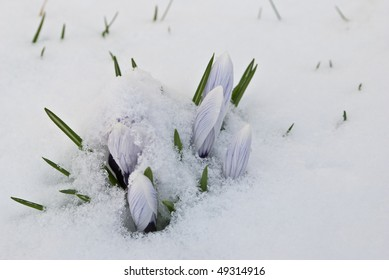 Spring Flowers covered in snow