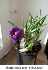 spring flowers crocus