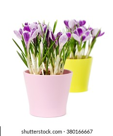 spring flowers, crocus, isolated on white,  closeup
