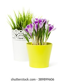 spring flowers crocus  are isolated on a white