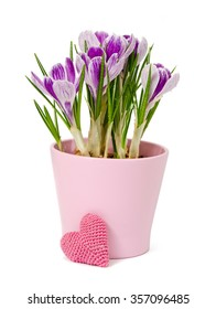 spring flowers, crocus and knitting hearts are isolated on a white
