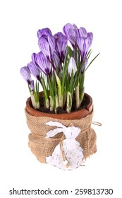 Spring flowers crocuses in old terracotta pot  and rabbit isolated on white  background.