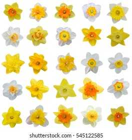 spring flowers: daffodil isolated on white background