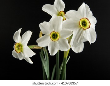 Spring flowers daffodils isolated on a black background ez canvas mightylinksfo
