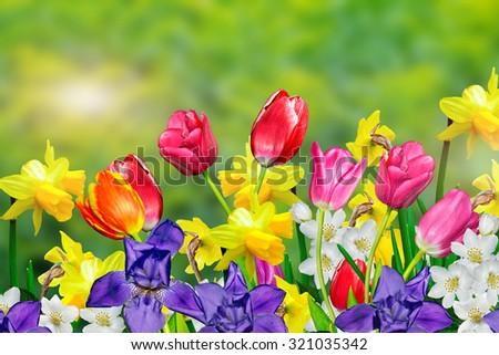 Spring Flowers Daffodils Tulips Stockfoto Jetzt Bearbeiten