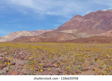 Death valley flowers images stock photos vectors shutterstock spring flowers at death valley mightylinksfo