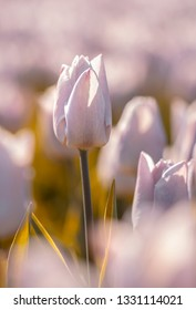 Spring flowers - Delicate flowers of pink tulips