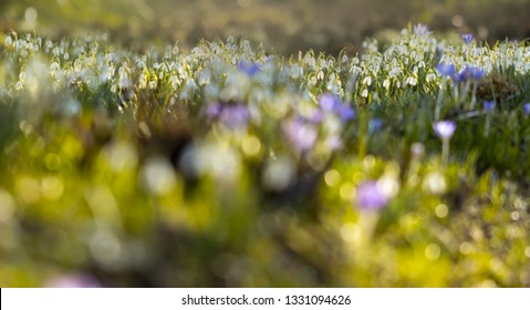 Spring Flowers - Delicate white flowers of snowdrops (Galanthus)