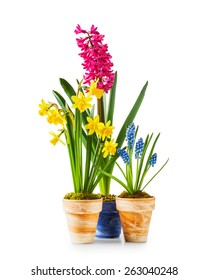 Spring flowers. Flowerpots with daffodil, hyacinth, muscari isolated on white background