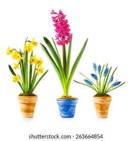 Spring flowers. Flowerpots with daffodil, hyacinth, muscari collection isolated on white background