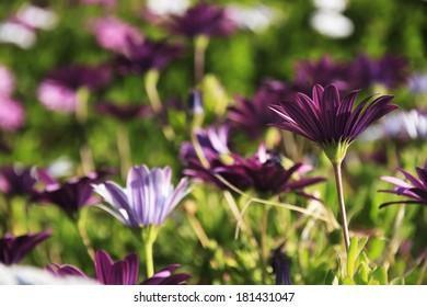 Spring flowers, Freeway Daisy, purple Osteospermum
