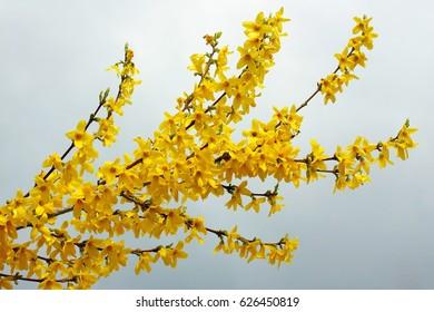 Spring flowers of golden rain