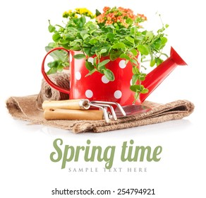 Spring flowers green leaves in watering can garden tools. Isolated on white background