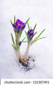 Spring flowers growing under the snow. Crocus.