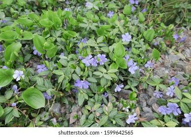 Spring flowers in Hokkaido, Japan