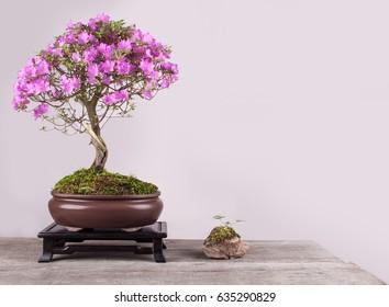 Spring flowers of the Japanese azalea bonsai in a bowl