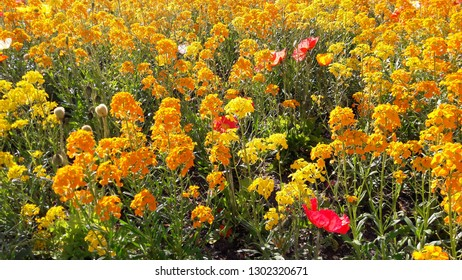 Spring flowers landscape. Orange and yellow wallflowers, white daisies, red poppies ...