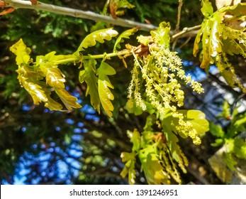 Spring flowers and leaves of the oak tree, Quercus robur, growing in Galicia, Spain