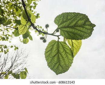 Spring flowers and leaves of an white mulberry branch on white background