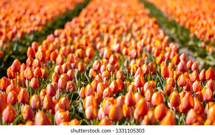 Spring flowers - Many blossoms of red tulips