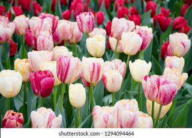 Spring flowers, multiple double beautiful tulips blooming in nature garden, in color pink, white, purple, red yellow with green branch and leaves, blurry background, travel and holiday concept.