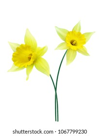 spring flowers narcissus isolated on white background