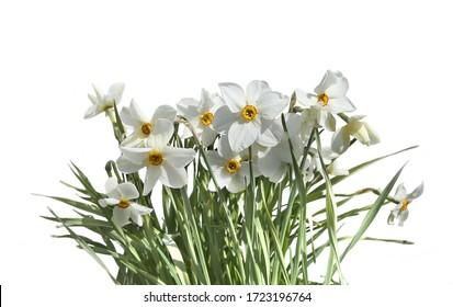 Frühlingsblumen Narcissus poeticus einzeln auf weißem Hintergrund. Blühende weiße Dichter.