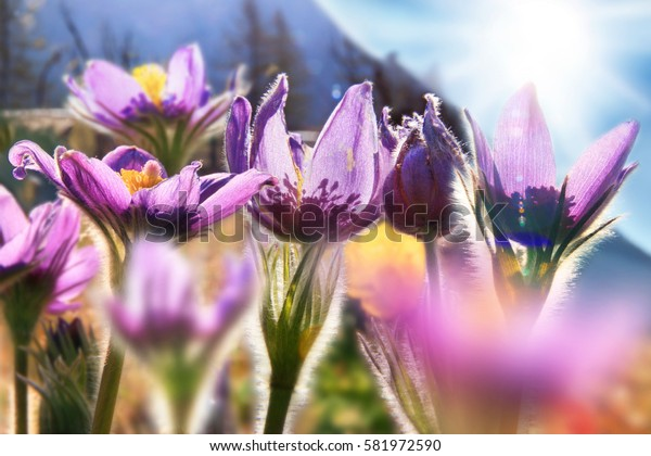 Spring flowers on a background of the sun shining, pulsatilla patens