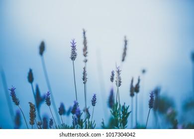 Spring flowers on blue backround. Fresh morning and fog
