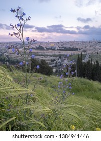 Spring flowers on the slopes of the Mount of Olives Jerusalem overlooking the old city.