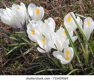 Spring flowers on a sunny day. White crocuses.