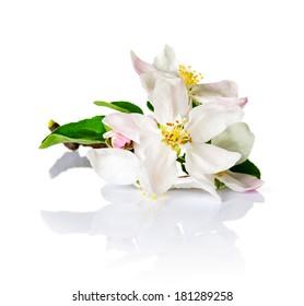 Spring flowers on white background. Apple blossom for spring season