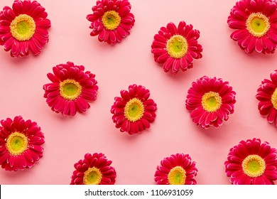 Spring flowers pattern isolated on a pink background. Gerbera daisy flower petals viewed directly from above. Top view