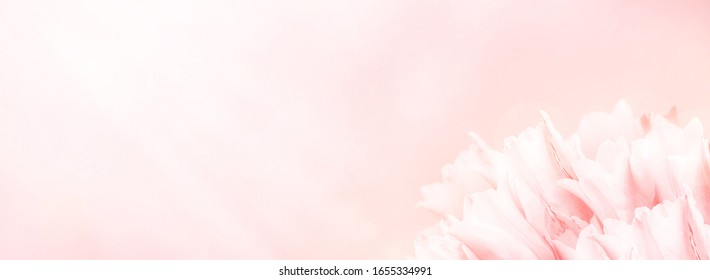 Spring flowers, pink background. Blossom tulips on blue and pink background. Sunbeams and bokeh over a blur banner, header or billboard. Valentine, love, Mothers day, wedding, summer and springtime.