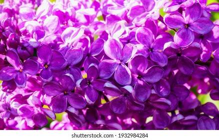 Spring flowers of pink lilac, blooming lilac in the spring garden. Spring landscape