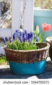 spring flowers in the pot in te garden flowering muscari Grape Hyacinth and red tulip