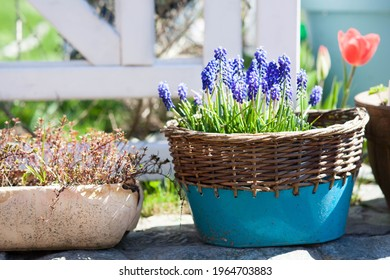 spring flowers in the pot in te garden flowering muscari Grape Hyacinth, red tulip and thyme