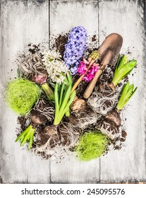 Spring flowers potting with hyacinth , bulbs, Tubers, shovel and soil, composing on white wooden background, top view