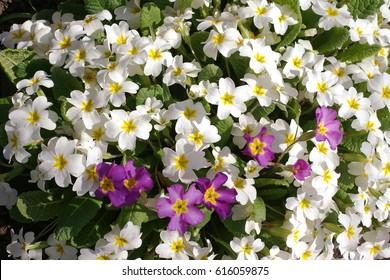 Spring flowers primrose: white and purple (Primula vulgaris)