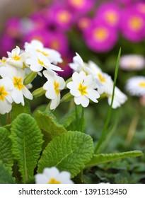 Spring flowers of Primula juliae (Julias Primrose) or white primrose in the spring garden.