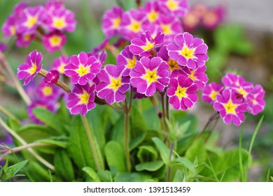 Spring flowers of Primula juliae (Julias Primrose) or purple primrose in the spring garden.