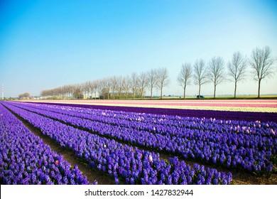 Spring flowers purple hyacinths. Blooming spring field.