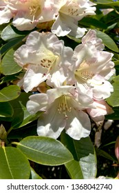Spring Flowers Rhododendrons
